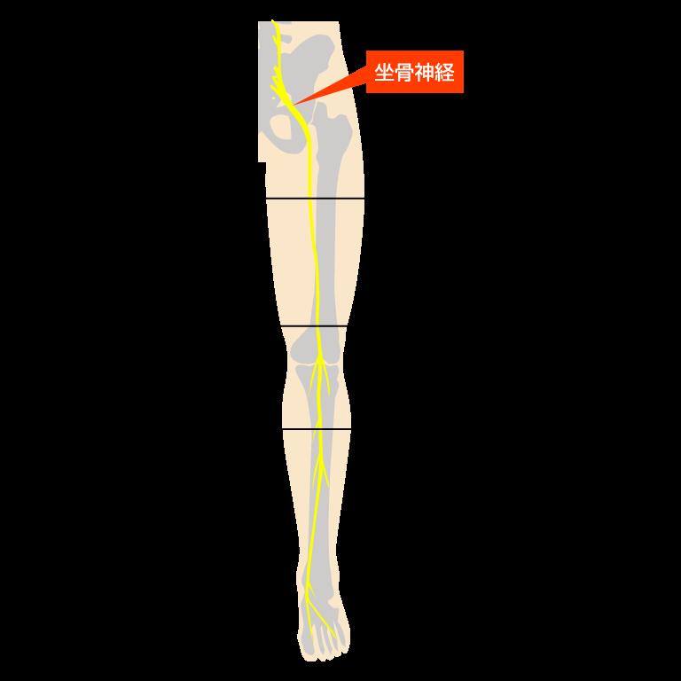 脚の神経図解