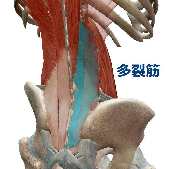 腰の真ん中が痛い原因の多裂筋